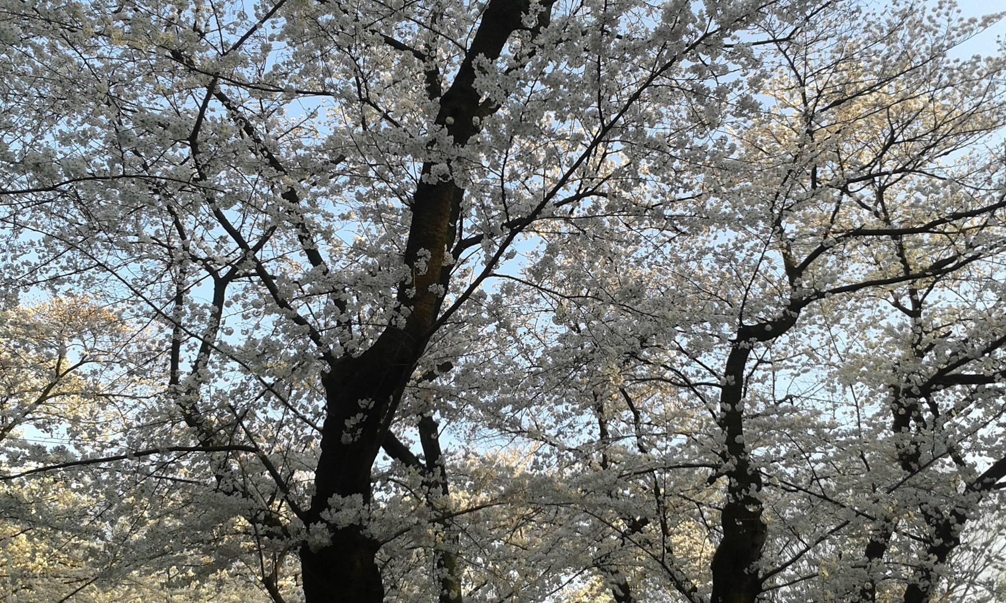 Fioritura fiori di ciliegio Giappone